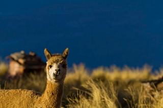 Pérou - route Arequipa-Puno : Altiplano