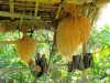 Indonésie - Bali - sur la route pour Lovina : riz