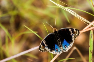 Australie - Parc national de Litchfield : papillon