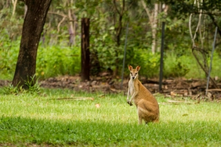 Australie - Parc national de Litchfield : wallabie