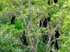 Australie - Parc national de Litchfield : chauve-souris géantes