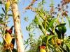 Madagascar - Manakara : canal des Pangalanes (plantes carnivores)