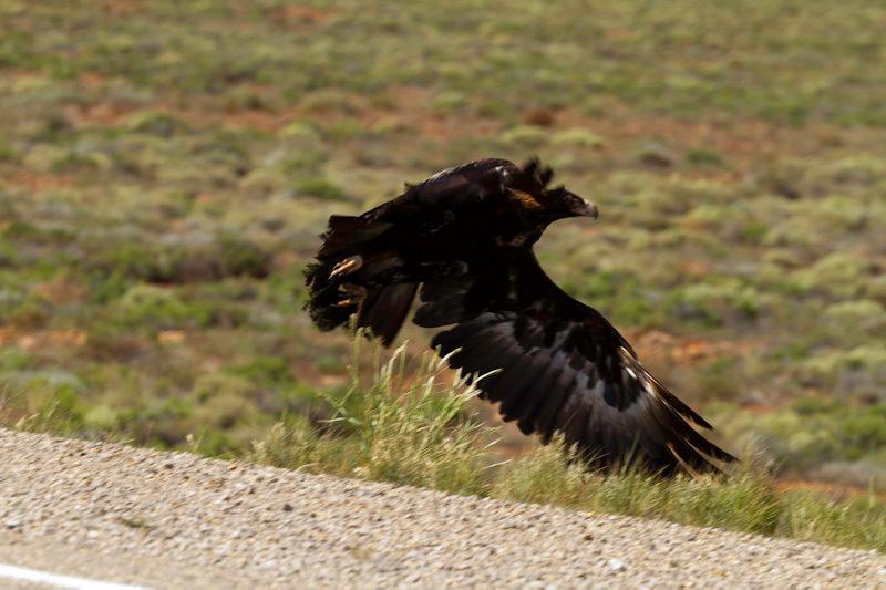 Australie : un aigle au bord de la route