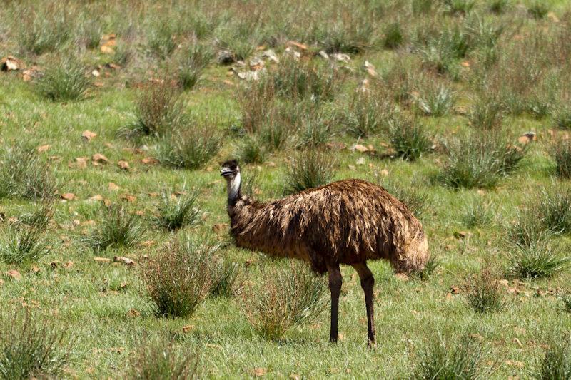 Australie - Flinders Ranges : autruche