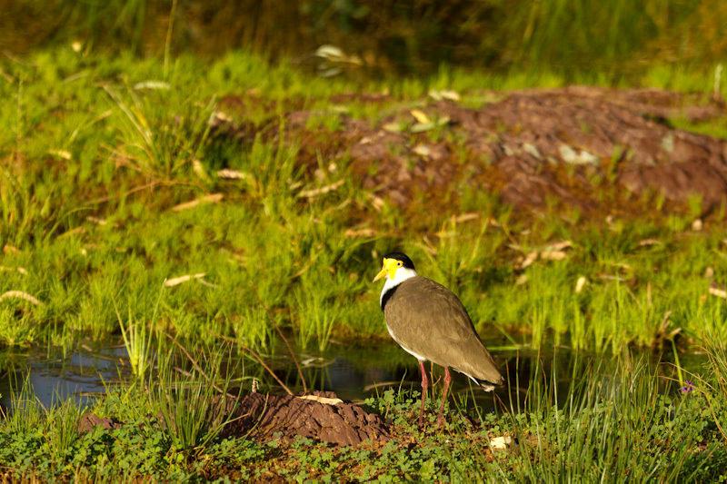 Australie - Flinders Ranges : échassier
