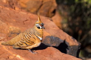 Australie - Kings Canyon : Rim walk (Spinifex Pigeon)
