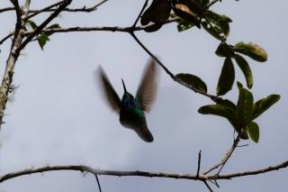 Pérou - Machu Picchu : ascension du Huayna Picchu - colibri