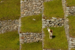 Pérou - Machu Picchu : lama
