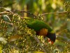 Australie - Melbourne : les perroquets dans la ville