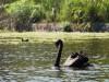 Australie - Melbourne : au Jardin botanique, cygnes noirs
