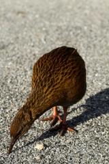 Nouvelle Zélande - Pancake Rocks & Blowhole NP : weka