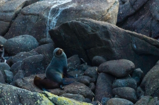 Nouvelle Zélande - Tauranga Bay : seal colony