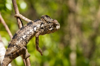 Madagascar - Réserve de l' Anja : caméléon