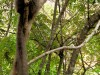 Madagascar - Isalo : lémurien
