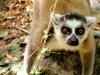 Madagascar - Réserve de l' Anja : lémurien