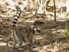 Madagascar - Réserve de l' Anja : lémuriens