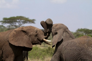 Serengeti : bisou d'éléphants