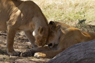 Serengeti : calin !