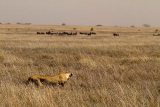 Serengeti : lionne en chasse