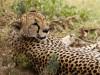 Serengeti : cheetah (guépard)