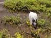 Serengeti : ibis