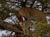 Serengeti : léopard dinant