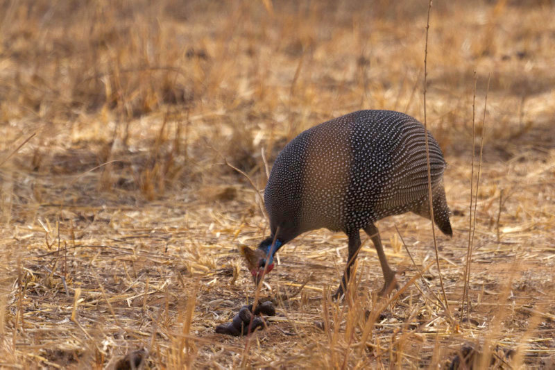 Tarangire : grey-beasted spurfowl