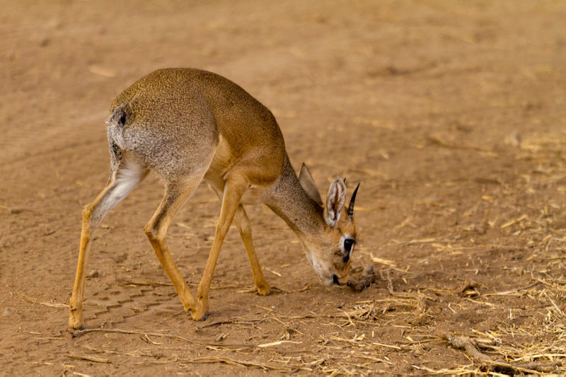Tarangire : mini antilope