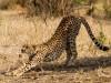 Tarangire : cheetah !