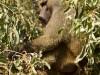 Manyara : singe