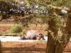 Manyara : hippopotame