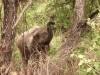 Manyara : éléphant