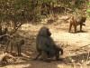 Manyara : singes
