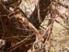 Manyara : lionne dans un arbre