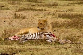 Ngorongoro : repas de la lionne