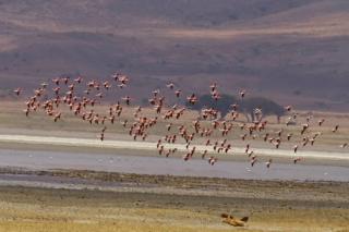 Ngorongoro : flamands roses