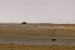 Ngorongoro : rhinocéros noir