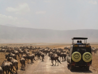 Ngorongoro : gnous