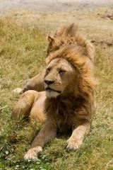 Ngorongoro : lions