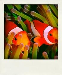 Némo fish