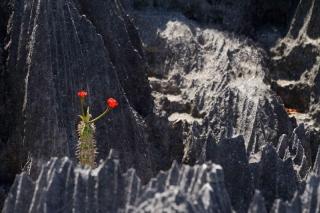 Madagascar - Tsingy de Bemaraha : cactus