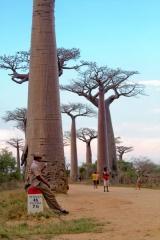 Madagascar : en route pour Morondava - allée des baobabs