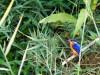 Madagascar - descente de la rivière Tsiribihina : martin-pêcheur