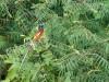 Madagascar - descente de la rivière Tsiribihina : gobe-mouches femelle