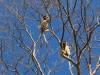 Madagascar - descente de la rivière Tsiribihina : lémuriens