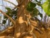 Madagascar - descente de la rivière Tsiribihina : faucon