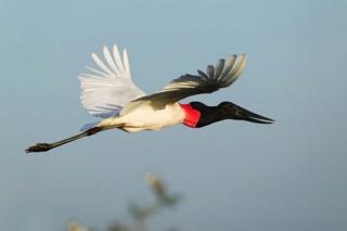 Brésil : Pantanal