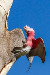 Australie - Alice Spring : perroquets (le bonheur du photographe animalier)