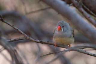 Australie - Monts Olga : oiseau