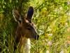 Australie - Monts Olga : kangourou